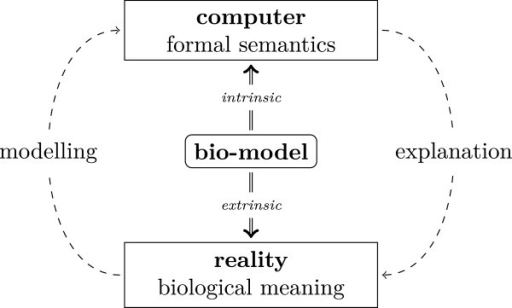 "Dual interpretation of bio-models. A model can be mathematically interpreted as a text in a formal language resulting in ""formal semantics"". This intrinsic meaning is necessary for using the model in computations. In order to exploit the results of such computations for the explanation of biological phenomena the model needs also a biological interpretation: the model possesses an extrinsic meaning relating its structure, its functionality, and its behaviour to biological reality. Ultimately, modelling is about making appropriate computational representation of biological reality."