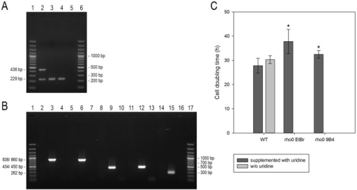 Characterization of ρ0 cells.A Multiplex PCR analysis of mitochondrial DNA. The nuclear and mitochondrial genes (18S rDNA: 229 bp and D-Loop: 436 bp, respectively) were coamplified and visualized by gel electrophoresis. Agarose gel (1.5%), lane 1 and 6: GeneRuler™ 100 bp plus DNA Ladder, lane 2: PC-3 wild type, lane 3: PC-3 ρ0 EtBr, lane 4: PC-3 ρ0 9B4, lane 5: no template. B PCR analysis of EcoRI gene sequence in PC-3 ρ0 9B4 cells. Different EcoRI gene sequences were amplified by PCR from PC-3 ρ0 9B4 genomic DNA utilizing the primer pairs listed in Table 2. Agarose gel (1.5%), lane 1 and 17: GeneRuler™ 100 bp Plus DNA Ladder, lane 2–4: PC-3 ρ0 9B4, vector DNA (encoding mitochondrial targeted restriction endonuclease, 500 pg) and no template, primer pair A, lane 5–7: primer pair B, lane 8–10: primer pair C, lane 11–13: primer pair D, lane 14–16: primer pair E. C Cell growth analysis of PC-3 cells. Calculation of doubling time of PC-3 cells in media with uridine (dark grey bars) and without uridine (light grey bars). Total cell number was measured every 24 h over a period of six days and cell doubling was estimated using exponential regression. The presented data are means ± SD from four independent experiments. *P<0.05, **P<0.01, ***P<0.001.