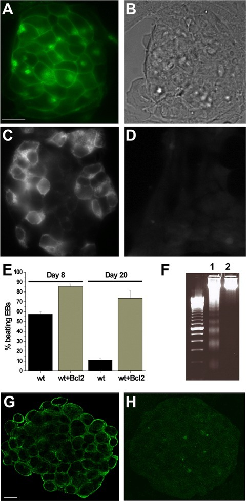 Characterization of the ESC lines used for the transplantation experiments. (A) Expression of eGFP or CD63 transgene by CGR8 stable clones. Panel a: undifferentiated colony positive for eGFP fluorescence localizing to membranes and endosomes. (B) Phase contrast picture of the CGR8 colony. (C) Immunostaining of a CGR8 cell clone expressing the hBcl2 gene. (D) Untransfected cells do not react with the antihBcl2 antibody. (E) Comparison of the beating activity expressed as percentage of beating EBs measured in wt or hBcl2-CGR8 EBs at day 8 and day 20 of culture. In contrast to wild-type EBs, 20-day-old EBs derived from human Bcl-2 expressing cells maintained a high percentage of beating. (F) DNA laddering performed on wild-type (wt) or hBcl2-CGR8 cells (lane 1 and 2, respectively) treated with 10 μM hydrogen peroxide for 24 hrs. (G, H) Immunoreactivity of mESC to antibodies against MHC class I or class II. Undifferentiated ESC colonies were stained with anti-MHC-I (G), or anti-MHC-II (H). Images correspond to the middle slice of a deconvoluted stack of confocal images acquired by a Zeiss Meta confocal microscope.