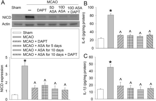 Aspirin-induced inhibition of Notch activation and proinflammatory cytokine production. Rats received various aspirin treatments around a 90-minute middle cerebral arterial occlusion (MCAO). Intracerebroventricular injection of N-[N-(3,5-Difluorophenacetyl)-L-alanyl]-S-phenylglycine t-butyl ester (DAPT) was performed immediately after the MCAO. The right frontal cortex area 1 was harvested at 3 days after the MCAO. The cytosol was prepared for Western blotting for Notch intracellular domain (NICD) and ELISA for IL-6 and IL-1β. (A) NICD expression. Top panel shows representative Western blots and bottom panel shows the quantification results. (B) IL-6 results. (C) IL-1β results. Results are the means ± SEM (n = 8). *P < 0.05, compared with sham; ^P < 0.05, compared with the animals subjected to MCAO only. ASA, acetylsalicylic acid.