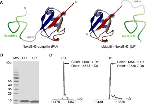 (A) Schematic structuralrepresentation of the ubiquitin–NoxaBH3 peptide conjugateswith two different configurations. The mouse NoxaB-(68–93)-C75Asequence, a selective Mcl-1 inhibitor,31 was used in the fusion along with (GGGGS)3 as a flexiblelinker. (B) Coomassie Blue stained SDS–PAGE gel of the purifiedNoxaBH3–ubiquitin (PU) and ubiquitin–NoxaBH3 (UP) conjugates.(C) Deconvoluted masses of the PU and UP conjugates.