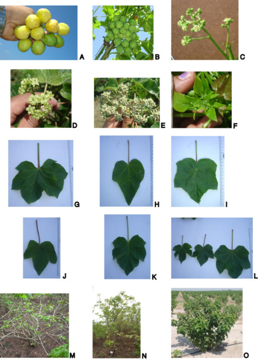 Phenotypic variation in the JEP collection. Variation in the number of fruit (A and B). Male flower plant (C). Female flower plant -type 1- (D). Female flower plant -type 2- (E). Bracteole inflorescence (F). Different leave shapes (G, H, I, J and K). Leaves size variation (L). Different canopy types observed in jatropha (M, N and O).