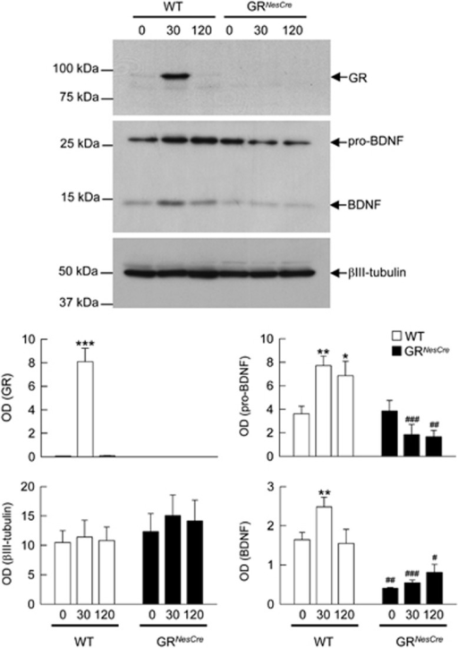 Stress-induced activation of the glucocorticoid receptor (GR) in the hippocampus stimulates pro-brain-derived neurotrophic factor (pro-BDNF) expression and its processing to mature BDNF. Comparison of the expression of pro-BDNF and BDNF proteins in wild-type (WT) and GRNesCre mice, before (t0), 30 and 120 min after the onset of 30 min of restraint stress. Nuclear (for GR) and cytoplasmic hippocampal extracts were analyzed by western blot. X-Ray films were quantified by densitometry (OD). *P<0.05; **P<0.005, ***P<0.001 in comparison with t0 of each group. #P<0.05, ##P<0.005, ###P<0.001 in comparison with the corresponding time point of WT. Newman-Keuls post-hoc test after analysis of variance.
