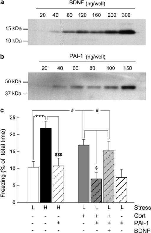 Enhancement of contextual fear memory induced by glucocorticoid (GC) requires pro-brain-derived neurotrophic factor (pro-BDNF) proteolytic processing by tPA/Plasmin system. Western blot showing purified (a) BDNF and (b) PAI-1 proteins injected into the hippocampus of C57/BL6J mice. (c) Percentage of freezing was measured for 2 min to the conditioning context 24 h after conditioning with either high (H, black bar) or low shock intensity (L, white bar) and receiving a post-training intra-hippocampal infusion of either corticosterone (dark gray bar), corticosterone+BDNF (light gray bar) with or without tPA inhibitor; PAI-1 (striped bars). Fisher's PLSD post-hoc test after analysis of variance. ***P<0.001 compared with high. $$$P<0.001 and $P<0.05 compared with high and low+Cort and low+Cort+PAI-1+BDNF (striped light gray bar), respectively. #P<0.05 compared with low+Cort and low+Cort+PAI-1+BDNF, respectively.
