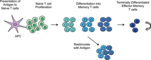 Following antigen exposure, naïve T cells undergo proliferative expansion and differentiate into memory T-cell subsets, which culminate into terminally differentiated effector T cells. A majority of memory T cells will survive the contraction phase and become long-lived memory T cells, which have the ability to acquire effector functions upon antigen re-exposure. APC, antigen-presenting cell.