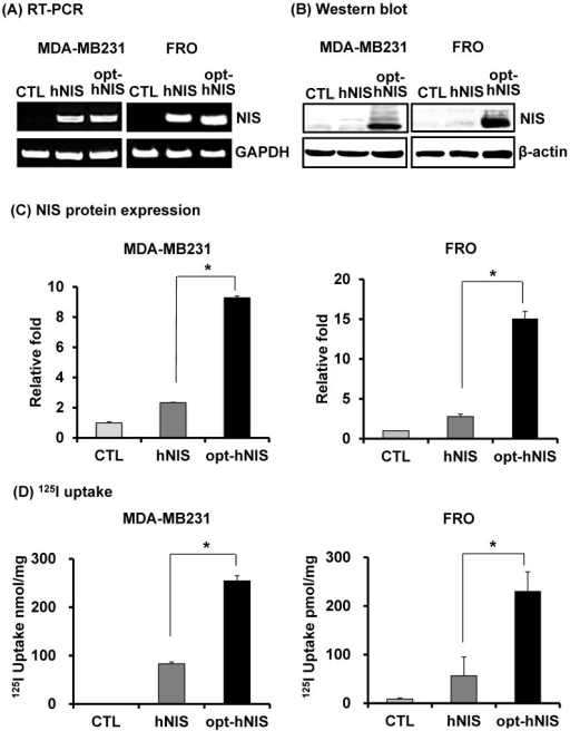 Comparative analysis of NIS expression between cells expressing hNIS or opt-hNIS genes. (A) RT-PCR analysis of NIS transcripts in hNIS-/or opt-hNIS-expressing cells (MDA-MB-231 and FRO cells) established from monoclonal selections of retrovirus-mediated stably transduced cells. GAPDH was used as an internal control. Marked overexpression of hNIS mRNA was observed in both hNIS- and opt-hNIS-expressing cells. No expression was observed in the parental cells (CTL). (B) Western blot analysis of NIS protein in hNIS- or opt-hNIS-expressing cells. Multiple bands of glycosylated NIS were observed in both hNIS- and opt-hNIS-expressing cells, but more NIS protein was produced in opt-hNIS-expressing cells. (C) Quantitative analysis of protein expression in hNIS- or opt-hNIS-expressing cells. (D) 125I uptake assay in hNIS- or opt-hNIS-expressing cells. All experiments were performed in triplicate, and bars represent means ±SD (*, P<0.001).