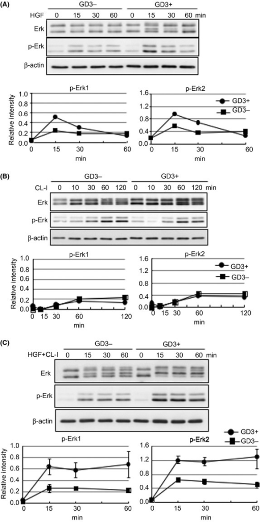 Synergistic increase of phosphorylation levels of Erks by simultaneous stimulation with hepatocyte growth factor (HGF) and adhesion to collagen type I (CL-I) in melanoma cells. Phosphorylation levels of Erks after growth factor stimulation with HGF, adhesion stimulation with CL-I, or both in GD3+ cells and GD3− cells were examined. The cells were harvested and rotated for 1 h at 37°C after serum starvation for 14–16 h, then used for each experiment. (A) Total Erk1/2 and phosphorylated Erk1/2 were analyzed at the time points indicated after adding HGF (10 ng/mL) in GD3+ and GD3− cell suspensions (1.0 × 106 cells/ 5 mL). After HGF stimulation, cells were lysed and the lysates were used for immunoblotting with anti-Erks or anti-phospho-Erks antibodies. The bands were detected with ECL and scanned. The relative intensities of phosphorylated bands are presented after correction with intensities of total Erks. (B) Total Erk1/2 and phosphorylated Erk1/2 were analyzed at the time points indicated after CL-I adhesion stimulation in GD3+ and GD3− cells (0.4 × 106 cells/6-cm dish). The relative intensities of phosphorylated bands are presented as in (A). (C) Total Erk1/2 and phosphorylated Erk1/2 were analyzed at the time points indicated after simultaneous stimulation with HGF (10 ng/mL) and CL-I adhesion in GD3+ and GD3− cells (1.0 × 106 cells/6-cm dish). The relative intensities of phosphorylated bands are presented as in (A). β-actin bands indicate equal loading of samples.