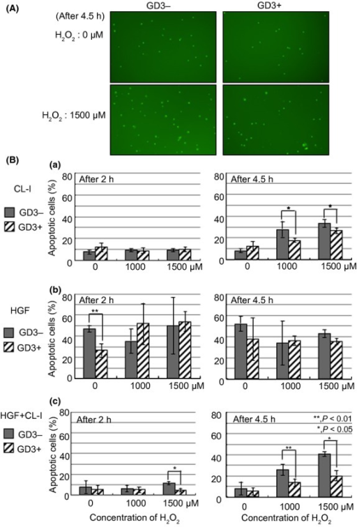 Increased resistance to apoptosis induced by H2O2 by simultaneous stimulation with hepatocyte growth factor (HGF) and collagen type I (CL-I) in ganglioside GD3+ N1 cells. (A) After incubation for 16 h in serum-free medium, GD3+ cells and GD3− cells were collected. These cells were suspended in FCS-free medium and rotated for 1 h at 37°C. Cell suspensions were plated in CL-I-coated 96-well plates (2.0 × 103 cells/100 μL/well), and added with 10 ng/mL HGF and 5 μM CellEvent Caspase-3/7 Green Detection Reagent. After 30 min incubation at 37°C, the cells were treated with 0 or 1500 μM H2O2 for 4.5 h and apoptotic cells (identified by bright green nuclei caused by activated caspase-3/7) were counted. (B) Cells were harvested and rotated for 1 h at 37°C after serum starvation for 14–16 h. Then cell suspensions were plated in CL-I-coated 96-well plates (2.0–3.0 × 103 cells/100 μL/well) (a), or cultured with HGF (10 ng/mL) in non-coated 1.5 mL tubes (5.0 × 105 cells/1.0 mL) (b), or plated in CL-I-coated 96-well plates (2.0–3.0 × 103 cells/100 μL/well) with simultaneous addition of HGF (10 ng/mL) (c). After 30 min incubation, these cells were treated with different concentrations of H2O2 for 2 or 4.5 h, and apoptotic cells with activated caspase-3/7 showed bright green nuclei. The percentage of apoptotic cells was calculated by the number of cells labeled with bright green in the total number of cells. The percentage of dead cells at the starting point just after seeding cells to plates was subtracted as a baseline from the percentage of apoptotic cells at each time point.