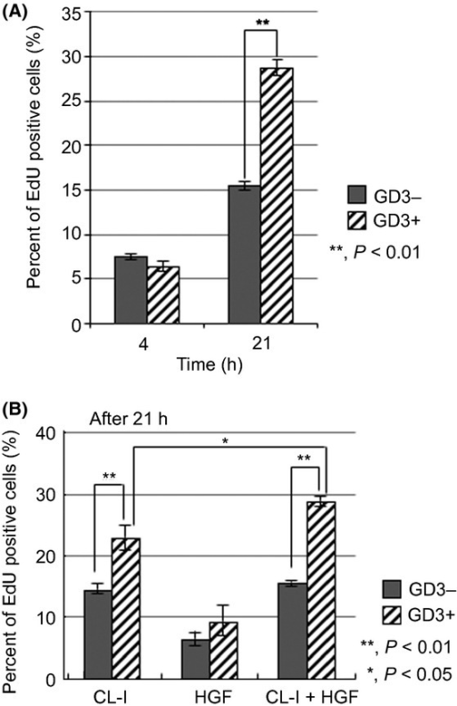 Ganglioside GD3+ N1 cells showed markedly increased cell proliferation when simultaneously stimulated by hepatocyte growth factor (HGF) and collagen type I (CL-I). (A) After incubation for 16 h in serum-free medium, GD3+ cells and GD3− cells were collected. These cells were suspended in FCS-free medium and rotated for 1 h at 37°C and cell suspensions were plated in CL-I-coated dishes (3.0 × 105 cells/3.5-cm dish) with 10 ng/mL HGF and 10 μM 5-ethynyl-2 deoxyuridine (EdU). Cell proliferation was assayed with EdU uptake after incubation for 4 or 21 h. The percentages of EdU positive cells were calculated by the number of cells labeled with green fluorescence in the total number of cells. (B) After incubation for 16 h in serum-free medium, GD3+ and GD3− cells were collected. These cells were suspended in FCS-free medium and rotated for 1 h at 37°C and cell suspensions were plated in CL-I-coated dishes (3.0 × 105 cells/3.5-cm dish) and cultured with EdU (10 μM), or cultured with HGF (10 ng/mL) in non-coated 1.5 mL tubes (1.0 × 106 cells/1.0 mL) and EdU (10 μM), or plated in CL-I-coated dishes (3.0 × 105 cells/3.5-cm dish) with HGF (10 ng/mL) and EdU (10 μM). Cell proliferation was assayed with EdU uptake after incubation for 21 h. The percentages of EdU positive cells were calculated by the number of cells labeled with green fluorescence in the total number of cells.