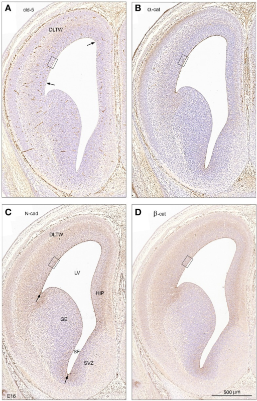 Tight and adherens junctional proteins in embryonic mouse brain. An overall view of tight and adherens junctional proteins in the ventricular zone of early mouse CSF-brain interface at low magnification in coronal sections of E16 brain showing immunostaining for claudin-5 (A), α-catenin (B), N-cadherin (C), and β –catenin (D). Note the differences in distribution of immunopositive staining between different regions of the surface of the ventricular zone with strongest staining of the dorsolateral telencephalic wall (DLTW) and a weak or lacking immunoreactivity of the ganglionic eminence (GE). Arrows in A point to the border of faint claudin-5 reactivity of the ventricular surface of the dorsolateral wall, and in (C) to the increased staining of the dorsolateral and ventral borders of the ganglionic eminence. The boxed areas in (A–D) are shown in higher magnification in Figure 7. HIP, hippocampus; LV, lateral ventricle; SF, septal fork of the lateral ventricle; SVZ, septal ventricular zone. (A–D) Same magnification, scale bar 500 μm.