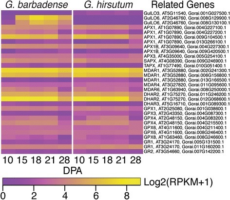 Expression patterns of genes related to ROS management via the glutathione-ascorbate cycle and the glutathione-perioxidase cycle in Gb and Gh fibers. The heat map parameters are explained in the legend of Fig. 6