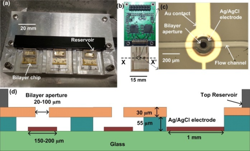 Bilayer platform for parallel channel recording.(a) Photograph of the BLM recording platform with three bilayer chips, each with two bilayers. (b) A daughter board showing two dual core ASIC amplifiers interfacing with the microfluidic chips. The integrated platform comprises three identical daughter boards, each of which can record from up to two bilayers, together with signal processing electronics. Data is transmitted to a computer via a USB connection. (c) Close up view of the bilayer aperture with Ag/AgCl electrode and flow channel. (d) Cross section X-X' of the chip showing the dry film resist that forms the aperture together with the integrated Ag/AgCl electrodes, one common and one for each bilayer.