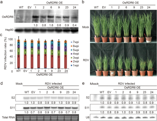 Over-expression of OsRDR6 did not affect RDV infection in rice.(a) Western blot analysis of OsRDR6 protein expression in the OsRDR6-over-expression (OsRDR6 OE), empty vector transformed (EV) and the WT rice plants. Rice Hsp90 was served as the loading control. (b) Comparison of RDV infected phenotypes in the OsRDR6 OE, EV and WT plants. The OsRDR6 OE rice plants did not show reduced disease symptoms comparable with the control plants. (c) The infection rates of the OsRDR6 OE, EV and WT plants at various wpi. The infection rate was determined using 30 individual plants per treatment at each wpi. Inoculation assay was repeated three times. The error bars indicate the standard errors. P > 0.05 (Student's t test). (d) Northern blot assay of RDV S2 and S11 genomic RNA accumulation in the OsRDR6 OE, EV and WT plants. Thirty plants showing disease symptoms were harvested from each treatment at 3 wpi for total RNA isolation. (e) Northern blot assay for RDV siRNAs accumulation in the OsRDR6 OE, EV and WT plants. The plant samples used in (d) were used for this analysis. U6 RNA was used as the loading control.