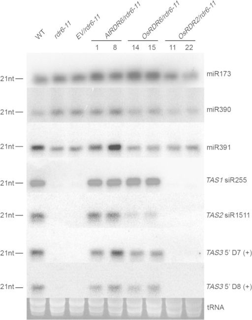 Over-expression of OsRDR6 and AtRDR6 in rdr6 mutant A. thaliana restored the accumulation of TAS siRNAs in plants.Four TASs [TAS1 siRNA255, TAS2 siRNA1511, TAS3 5'D7 (+) and TAS3 5'D8 (+)] were analyzed using Northern blot assay. Accumulation of miR173, miR390 and miR391 in the OsRDR6/rdr6–11, AtRDR6/rdr6–11 or OsRDR2/rdr6–11 transgenic Arabidopsis plants were also analyzed in the assay. tRNA isolated from each sample was served as the loading control.