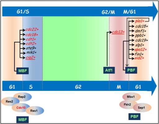 Transcriptional program of S. pombe cell cycle: Important genes related to a particular cell cycle transition event are shown. The transcription factors regulating their expression are shown in 'blue' boxes. Subunit composition of both MBF and PBF transcription factors are shown. Genes whose expression can be additionally regulated by Atf1 are indicated in 'red' font.