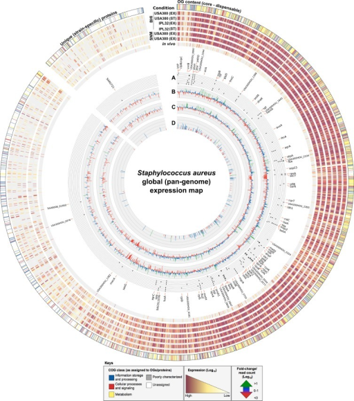 Global (pan-genome) expression map of in vitro and in vivo derived S. aureus transcriptomes.Circular ideogram depicting variations in gene expression between S. aureus strains, in vitro growth media and in vivo conditions as mapped according to the 3466 core/variable OGs and 732 unique (strain-specific) proteins defined for the S. aureus pan-genome. RNAseq generated reads (plotted as log10 expression values) were assigned to their respective OGs/proteins by rpstblastn (ordered from core–variable–unique) with each OG defined according to its major Clusters of Orthologous Groups (COG) class (outer circle). Expression values from a total of 7 conditions were mapped and represent (from outer to the inner): S. aureus USA300 in vitro exponential (EX) and stationary (ST) phase growth in Brain Heart Infusion (BHI) media; S. aureus IPL32 in vitro EX and ST phase growth in BHI; S. aureus USA300 and IPL32 in vitro EX phase growth in Synthetic Nasal Medium (SNM); and transcripts taken from an in vivo (metatranscriptomic) sample generated from the human anterior nares of an S. aureus carrier. Inner circles represent: (A) the top 25-ranked most highly expressed genes in each of the 7 conditions (based on abundance of transcripts) and plotted as a tile graph where black lines (or tiles) correspond to a highly expressed gene under a given condition (ordered according to the outer circles), with those specific to in vivo conditions marked in bold; (B) fold-change (log10) of in vitro EX growth of USA300 in SNM versus BHI media; (C) fold-change (log10) of in vitro EX growth of IPL32 in SNM versus BHI media; and (D) total S. aureus-specific read counts (log10) from the in vivo human anterior nares condition. Keys denote the color scheme used to distinguish COG classes and expression and fold-change/read count values.