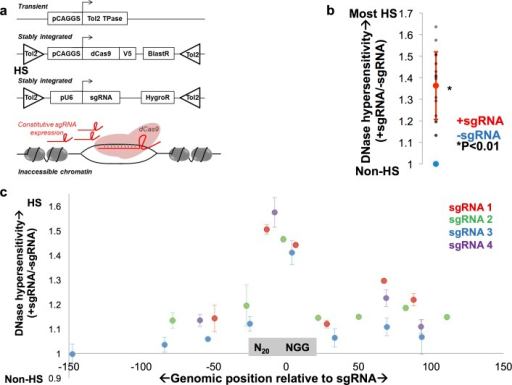dCas9 induces chromatin accessibility at previously inaccessible genomic loci.a. mESCs were co-transfected with a Tol2 transposase (TPase), a Tol2 transposon-flanked dCas9 expression cassette, and a Tol2 transposon-flanked sgRNA cassette to yield stable expression of dCas9 and a sgRNA targeted to a region with inaccessible chromatin. b. 16/16 loci in previously inaccessible chromatin had statistically significant increases in DNase hypersensitivity (y-axis) upon sgRNA targeting as measured by DNase-qPCR (gray dots). DNase hypersensitivity at each locus is normalized to its level in the absence of sgRNA (blue dot), and the average normalized DNase hypersensitivity in the presence of gRNA for all loci is shown (red dot), which is statistically significantly increased over–sgRNA control. At least two replicates were performed for all conditions, and a two-tailed Student's t-test used to calculate significance. c. DNase-qPCR measurement of DNase hypersensitivity (y-axis) is shown +/-150 bp from the sgRNA site (x-axis) at four targeted loci. DNase-qPCR values at each datapoint are normalized to hypersensitivity in the absence of sgRNA, and all loci are oriented such that the 20 bp sgRNA sequence is immediately to the left of 0 and the NGG PAM sequence is immediately to the right of 0. Three replicates were performed for all experiments.