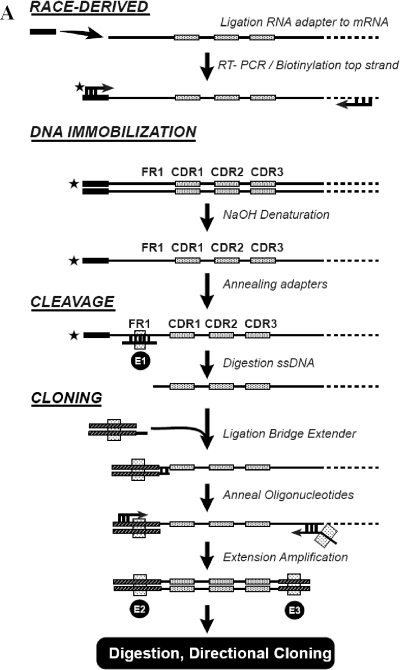 The ONCL technology. (A) Schematic outline of the ONCL technology. RACE: decapped mRNA is ligated to a RNA adapter, then converted to cDNA by RT–PCR. cDNA is then amplified using a 5′-biotinylated primer complementary to the adapter sequence combined with a 3′-primer either complementary to the human IgG-derived heavy chain constant region or to the light chain constant regions. DNA immobilization: double-stranded (ds) biotinylated RACE-derived PCR products are bound to streptavidin-coupled magnetic beads. After the DNA–beads complex is immobilized on a magnetic stand, ssDNA is prepared by NaOH denaturation. Cleavage of ssDNA: annealing of the adapter oligonucleotides to the top strand retained on the beads creates a dsDNA region accessible for the restriction enzyme (E1). Cleaved single-stranded V gene is released from the beads and can now be used in the next step. Preparation of the V-gene ssDNA for cloning: The ssDNA is then ligated to a 100× excess of partially dsDNA made through the annealing of two oligonucleotides. The lower-strand tail of this oligonucleotide duplex is complementary to the 5′ end of the ssDNA, allowing their recognition during the ligation procedure. The ligated product is then amplified using primers appended with appropriate restriction sites (plain black arrows), allowing the directional cloning of the V genes into the phagemid vector. E represents restriction enzymes, vertical rectangles represent restriction sites, asterisks represent biotin, dark rectangles represent the tailed sequence and 'base-adorned' arrows represent base pairing of the oligonucleotides with the ssDNA. (B) Example of ONCL method: λ1 V-gene capture and cloning. (1) Annealing of adapter for family Vλ1 to Vλ1 genes, immobilized on beads—cleavage by HinfI; (2) release of cleaved Vλ1 genes in supernatant; (3) annealing and ligation of cleaved Vλ1 genes to hybridized Vλ1 bridge and extender (ApaLI site underscored); (4) amplification of ligated DNA using ONPlePCR and Cλ2,7forAsc primers; (5) directional cloning into pMid21 of Vλ1 genes via ApaLI and AscI. X, non-V-gene related amino acid sequence.