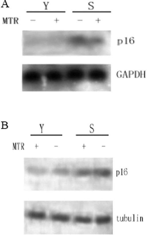 Expressions of p16INK4a mRNA and protein are inhibited by MTR treatment.Young (Y) and senescent (S) 2BS cells were either treated with 100 nM MTR (MTR) for 24 hr or left untreated, total RNA and protein were prepared and subjected to analyze the expression of indicated genes by Northern blotting (A) and Western blotting (B), respectively.