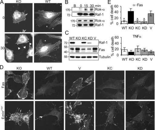 Endogenous Raf-1 coimmunoprecipitates with Rok-α upon Fas stimulation, and Raf-1 kinase activity is dispensable for the regulation of Fas surface expression. (A) Rok-α is mislocalized in unstimulated and αFas-treated KO fibroblasts. WT and KO fibroblasts were treated with αFas as described in Fig. 2 A. The subcellular localization of Rok-α was determined by immunofluorescence. Arrowheads indicate Rok-α staining in the blebs, which was observed in 66 ± 2% of stimulated KO cells. (B) Fas stimulates the formation of a Raf-1–Rok-α complex. WT MEFs were stimulated with 2 μg/ml αFas, and Raf-1 IPs were prepared at the indicated times. The presence of Raf-1 and Rok-α in the IP (top) and in the input (bottom) was detected by immunoblotting. B, lysates incubated with protein A–Sepharose beads only. (C and D) Expression of KC or KD Raf-1 restores normal Fas expression, ezrin phosphorylation/distribution, and sensitivity to Fas-induced apoptosis in Raf-1−/− MEFs. (C) The amount of Fas and Raf-1 in whole cell lysates was determined by immunoblotting. Molecular mass markers are shown in kilodaltons on the left. (D) Fas surface expression and ezrin phosphorylation/distribution were analyzed by immunofluorescence. The pictures shown are representative of 90 ± 1% KC and 87 ± 4% KD cells. (E) Sensitivity to αFas or TNFα-induced apoptosis was determined as described in Fig. 1 A. The values represent the mean ± SD (error bars) of at least three independent clones, each assessed in at least two independent experiments. *, P < 0.01 according to a t test comparing WT, vector (V), KC, or KD cells with KO cells.