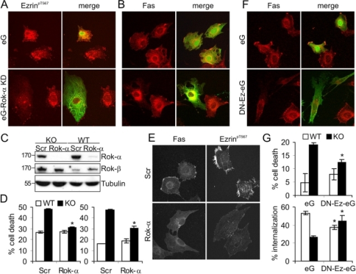 Interfering with Rok-α and ezrin restores normal sensitivity to Fas-induced apoptosis in Raf-1–deficient fibroblasts. (A and B) Transfection with DN Rok-α (eG–Rok-α KD) prevents ezrin hyperphosphorylation (A) and Fas clustering (B) in Raf-1 KO cells. Reduced ezrin phosphorylation and lack of Fas clustering were observed in 89 ± 3% of the cells transfected with eG–Rok-α KD. (C–E) Silencing Rok-α expression reduces Fas sensitivity, Fas clustering, and ezrin hyperphosphorylation in KO cells. (C) Expression of Rok-α was assessed by immunoblotting 72 h after transfection with scrambled (SCR) or Rok-α siRNA. The related kinase Rok-β is shown as a specificity control and tubulin as a loading control. (D) KO and WT MEFs were transfected with Rok-α or SCR siRNA. Apoptosis was induced with 50 ng/ml αFas (5 μg/ml Chx for 22 h) and detected as described in Fig. 1 A. The values represent the mean ± SD (error bars) of triplicates. Two independent transfections are shown. *, P < 0.01 according to a t test comparing Rok-α with SCR siRNA–transfected cells of either genotype. (E) KO cells transfected with Rok-α or SCR siRNA were stained with antibodies against Fas and ezrinpT567. 81 ± 3% of the cells displayed the phenotypes shown. (F and G) DN ezrin restores normal Fas internalization and Fas sensitivity in KO cells. (F) Morphology and Fas staining of KO cells expressing eGFP (eG) or eGFP-ezrin1-310 (DN-Ez-eG). Reduced surface Fas clustering was displayed by 89 ± 4% of the DN-Ez-eG–transfected cells. (G, top) The effect of eG and Ez-eG on Fas-induced apoptosis (200 ng/ml αFas and 5 μg/ml Chx for 16 h) was determined by FACS analysis of Annexin V–positive cells. (bottom) The effect of eG and DN-Ez-eG on Fas internalization was determined as described in Fig. 2 B. The values represent the mean ± SD (error bars) of three independent experiments. *, P < 0.01 (top) and *, P < 0.04 (bottom) according to a t test comparing eG with DN-Ez-eG–expressing cells of either genotype. (A–G) Transfection with the empty vector (eG) or with SCR siRNA did not alter the phenotype of KO cells.