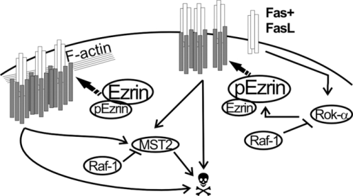 Role of Raf-1 in Fas-mediated apoptosis: a working model. Fas binding to FasL stimulates DISC formation and internalization. Both of these processes depend on the linkage of Fas to the cytoskeleton. Phosphorylation of ezrin on T567 by Rok-α promotes Fas clustering but reduces DISC formation and internalization, generating a prolonged, albeit less efficient, Fas signal. In WT cells, formation of a Raf-1–Rok-α complex restrains Rok-α activity and ezrin phosphorylation. In addition, direct binding to Raf-1 prevents the dimerization and phosphorylation of the proapoptotic kinase MST-2 (O'Neill et al., 2004). In the absence of Raf-1, Rok-α activity and ezrin phosphorylation generate a prolonged Fas signal, boosted by unrestrained MST-2 stimulation. White rods, Fas; gray rods, DISC components.