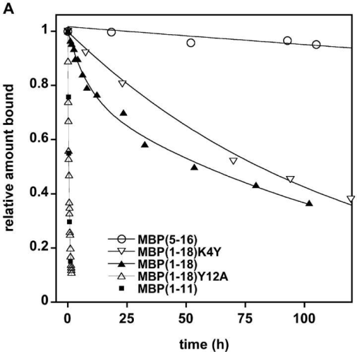 MBPAc1–18 demonstrates biphasic dissociation. (A) Dissociation of fluorescein-labeled MBP peptides from soluble I-Au. MBP peptides were incubated with soluble I-Au for 1 h at 37°C. For MBPAc1–18, ∼38% of the original peptide bound was bound in the faster phase: t1/2fast = 3.7 h. About 62% of the initial peptide is bound in the slow phase: t1/2slow = 117 h. (B) Expanded time scale of panel A showing the monophasic fast dissociation of both MBPAc1–18Y12A and MBPAc1–11.