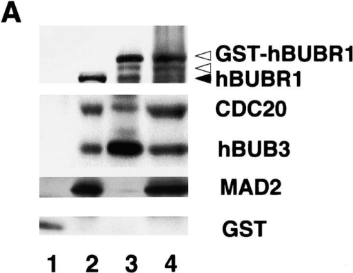 Affinity-purified GST–hBUBR1:MCC inhibits APC/C. (A) GST–hBUBR1 is associated with the MCC. A GST–hBUBR1 construct was transfected into cells and the protein was affinity purified using glutathione beads. Affinity-purified GST–hBUBR1 (lane 3) and the remaining supernatant (lane 4) were probed for hBUBR1, hBUB3, CDC20, and MAD2. In parallel, a GST construct was transfected and the affinity-purified GST (lane 1) and the remaining supernatant (lane 2) was probed with the same antibodies and a GST antibody to confirm expression of GST in transfected cells. The black arrowhead points to endogenous hBUBR1 and the open arrowheads point to GST–hBUBR1 and its degradation product (as confirmed by GST Western blot, unpublished data). (B) Affinity-purified GST–hBUBR1:MCC inhibits APC/C. Mitotic APC/C (lane 2) was incubated with GST (lane 3), conventionally purified MCC (lane 4), and GST-MCC (lane 5) and assayed for ubiquitin ligase activity. A control reaction lacking APC/C (lane 1) provided the level of input substrate that was used for calculating APC/C activity in the various reactions.