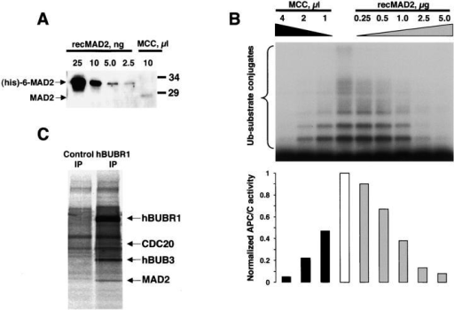 Characterization of the MCC. (A) Estimation of MAD2 content in MCC. Quantitative immunoblot of purified MCC with known amounts of recombinant MAD2. Recombinant (His) 6-tagged MAD2 migrated slower than native MAD2. (B) Comparison of APC/C inhibitory activity between the recombinant oligomeric MAD2 and purified MCC. Increasing amounts of oligomeric MAD2 and purified MCC were added to the APC/C assay to compare inhibitory activities. Phosphorimage of the APC/C reactions (upper panel) was quantified to determine the amount of recombinant MAD2 and MCC required to achieve equivalent levels of inhibition (lower panel). (C) MCC subunits exist in near equal stoichiometry. HeLa cells were labeled in 35S-Trans label for 6 h and mitotic and interphase cells were separated and then incubated with nonimmune IgG or hBUBR1 antibodies. Phosphorimage of the immunoprecipitate obtained from mitotic cells shows the radiolabeled hBUBR1, hBUB3, MAD2, and CDC20. The counts from each subunit were normalized to their cysteine and methionine contents (without initiating Met) to estimate their stoichiometry.