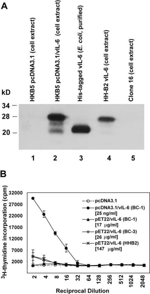 Comparison of vIL-6 expressed in E. coli and in eukaryotic cells. (A) Comparison of electrophoretic mobility of vIL-6 from various sources. An immunoblot reacted with polyclonal rabbit antibody to vIL-6. Lane 1, extract of HKB5 cells transfected with pcDNA3.1; lane 2, extract of HKB5/B5 cells transfected with pcDNA3.1/vIL-6; lane 3, purified vIL-6 expressed in E. coli; lane 4, extracts of HHB2 cells, a KSHV+ PEL cell line; lane 5, extract of HH514-16 (clone16), an EBV+ KSHV− Burkitt lymphoma cell line. (B) Comparison of biological activity of vIL-6–expressed mammalian cells or E. coli in a B9.11 cell proliferation assay. B9.11 cells were incubated with supernatants of HKB5/B5 cells transfected with pcDNA3.1 or pcDNA3.1/vIL-6 (BC-1). B9.11 cells were also incubated with vIL-6 from three KSHV strains cloned in pET22, expressed in E. coli, and purified on Ni+1 columns. The concentration of vIL-6 expressed in eukaryotic cells was 25 ng/ml. The concentration of vIL-6 expressed in E. coli varied from 17 to 147 μg/ml.