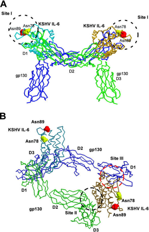 Location of the N-linked glycosylation sites of KSHV-encoded IL-6 on the schematic representation of the cocrystal structure of vIL-6 and gp130. Carbon backbone model of vIL-6 and soluble gp130 is shown as a tetrameric complex based on previous crystal structure work, shown in side (A) and tilted view (B; reference 11). A shows site I of vIL-6, which is not a contact site with gp130, but corresponds to a site where hIL-6 interacts with IL6-Rα. B shows one vIL-6 site II (black dotted circle) in contact with D2D3 sites of gp130 molecule (green), and vIL-6 site III (red dotted circle) in contact with D1 site of a second gp130 molecule (blue). N78 (yellow) and N89 (red) are highlighted as space-filling residues and are shown to occupy site I, but not sites II or III. The figure was prepared using the RasMol program (v2.7.1).
