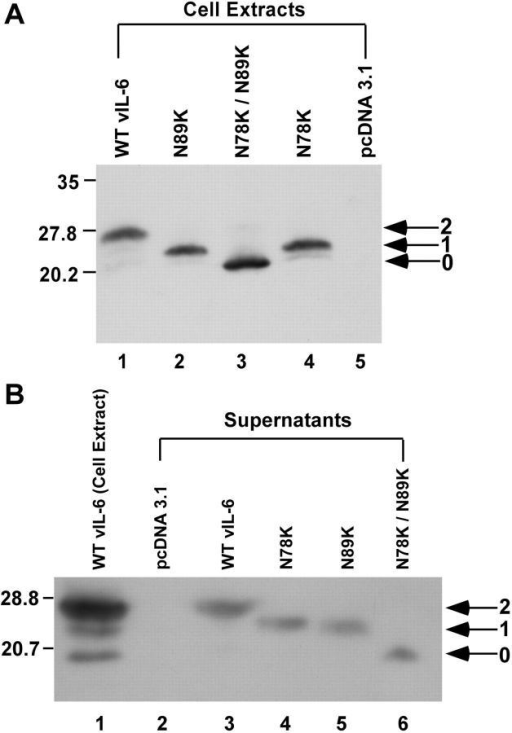 Comparison of electrophoretic mobility of wild-type and N-linked glycosylation site mutants of vIL-6. Wild-type vIL-6 and N-linked glycosylation site mutants (N78K, N89K, and N78K/N89K) were expressed in HKB5/B5 cells. Immunoblots were probed with polyclonal antibodies to vIL-6. (A) Cell extracts. (B) Culture supernatants concentrated ∼13-fold by dialysis against polyethylene glycol. Arrows indicate doubly, singly, and unglycosylated forms of the protein.