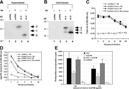 Effect of expression of vIL-6 in the presence of TM on binding to sgp130 and on B9.11 cell proliferation. (A and B) Electrophoretic mobility of vIL-6 expressed in HKB5/B5 cells in the absence or presence of 1.0 μg/ml TM. Immunoblots of culture supernatants (A) or cell extracts (B) were reacted with polyclonal rabbit antibody to vIL-6. The preparation shown in A was used for experiments illustrated in panels C–E. (C) ELISA assay for the amount of vIL-6 present in supernatants of HKB5/B5 cells transfected with pcDNA3.1 or pcDNA3.1/vIL-6, treated or untreated with TM. (D) ELISA assay for binding of vIL-6 to sgp130. In one sample, vIL-6 expressed in the absence of TM was spiked with TM before assaying its binding to sgp130. (E) B9.11 assay of vIL-6 expressed in the absence of TM (solid bars), the presence of TM (shaded bars), or vIL-6 expressed in the presence of TM to which untreated vIL-6 was added (hatched bars).