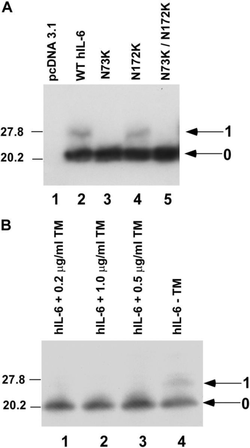 N-linked glycosylation of hIL-6. (A) Electrophoretic mobility of wild-type hIL-6 and two N-linked glycosylation site mutants of hIL-6 expressed in HKB5/B5 cells. (B) Effect of TM on electrophoretic mobility. HKB5/B5 cells were transfected with pcDNA3.1/hIL-6 in the presence of increasing concentrations of TM (lanes 1–3) or no TM (lane 4). Both immunoblots were reacted with polyclonal antibody to hIL-6.