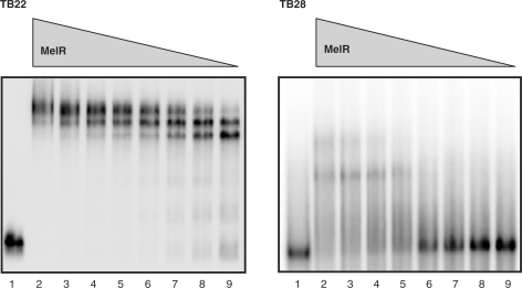 Binding of MelR to the TB22 and TB28 promoter fragments. The figure shows autoradiograms of electromobility shift assays performed with labelled TB22 and TB28 fragments, as indicated, incubated with no MelR (lane 1) or 2000 nM (lane 2), 1000 nM (lane 3), 500 nM (lane 4), 250 nM (lane 5), 125 nM (lane 6), 62.5 nM (lane 7), 31.25 nM (lane 8) and 15.62 nM (lane 9) purified MelR.