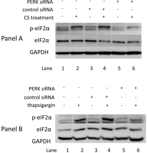 Dependence of eIF2α phosphorylation on PERK in A549 cells treated with cigarette smoke (and thapsigargin. Panel A: A549 cells were transfected with control siRNA (lanes 3 and 4) or PERK siRNA (lanes 5 and 6) as described in Methods. 24 h post-tranfection the cells were exposed to air (lanes 1, 3, and 5) or 2R4F cigarette smoke with 35 cc puffs diluted in 250 cc air (lanes 2,4, and 6) for 20 minutes. Cells were then placed in fresh medium and returned to the incubator for the time periods specified. Western blots of whole cell lysates were probed with antibodies to phosphorylated eIF2α, eIF2α, and GAPDH as a loading control. Panel B: A549 cells were transfected with control siRNA (lanes 3 and 4) or PERK siRNA (lanes 5 and 6) as described in Methods. 24 h post-tranfection the cells were treated with either 1 uM thapsigargin in DMSO (lanes 2,4, and 6) or DMSO (lanes 1, 3, and 5) for the times specified.