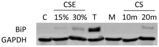 BiP expression in normal human lung cells treated with CS long term treatment. NHBE cells were exposed to either 15% or 30% 2R4F cigarette smoke extract (CSE) prepared as described in (ref), or exposed to 2R4F cigarette smoke (CS) for 10 or 20 minutes (35 cc puffs were diluted in 250 cc air), after which the cells were immediately returned to the incubator without a media change for the time periods specified. C = untreated control.