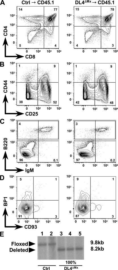 Normal T cell development and absence of immature thymic B cells in BM chimeras reconstituted with DL4ΔMx BM. Ctrl or DL4ΔMx CD45.2+ BM was transplanted into lethally irradiated CD45.1+ hosts and analyzed 8 wk after reconstitution. The reconstitution efficiency for both Ctrl and DL4ΔMx BM chimeras was >95% (not depicted). (A) Representative flow cytometric analysis of CD45.2+ thymocytes stained with anti-CD4 and -CD8. (B) CD45.2+ lineage-negative DN thymocytes were analyzed for the expression of CD44 and CD25. (C and D) Lineage-negative thymocytes were analyzed for the presence of B cells expressing B220 and IgM, or BP1 and CD93. Data in A–D are representative of three individual chimeras per group with virtually identical results, and relative percentages are indicated in the contour plots. Two independent experiments were performed. (E) Southern blot analysis of ScaI-digested genomic DNA derived from BM cells of Ctrl and DL4ΔMx chimeras showing the floxed alleles in Ctrl chimeras and the completely deleted DL4 locus in DL4ΔMx chimeras. The targeting strategy and size of the restriction fragments are as described in Fig. 2 A.