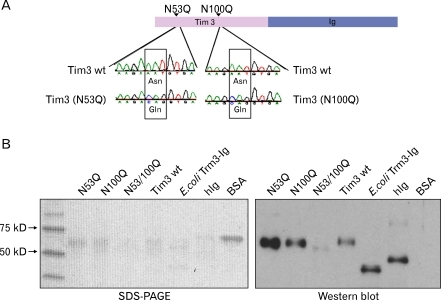 Production of Tim-3-Ig N-glycosylation mutants. (A) Schematic representation and sequence analysis of Tim-3-Ig N-glycosylation mutants, N53Q and N100Q. (B) Tim-3-Ig N-glycosylation mutants were purified from CHO cell culture using affinity column chromatography and subjected to SDS-PAGE analysis and Western blot using peroxidase conjugated anti-human Ig antibody and ECL detection system.