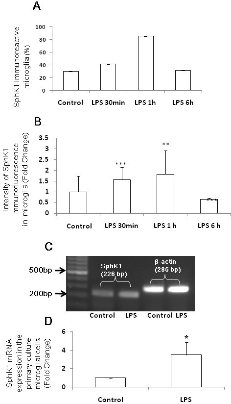 Quantitative analysis of number, intensity and mRNA expression of SphK1 positive AMC.  The number of SphK1-positive AMC (co-expressing OX-42) is increased 1 h after LPS injection (A). The intensity of SphK1 immunofluorescence is also increased significantly at 30 min to 1 h compared with that 6 h after LPS injection and that of control (B). SphK1 mRNA expression (C) is detected in primary microglial cells in vitro and its expression was induced significantly in cells exposed to LPS for 1 h, as revealed by RT-PCR (D) The data are normalized with the housekeeping gene, β-actin (C) and presented as mean ± S.E. Control vs LPS, * P < 0.05, ** P < 0.01.,*** P < 0.001