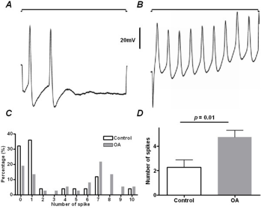 Excitability of muscle afferent neurones determined by depolarizing current injection in control and OA animals.2nA direct current was injected into neurones at 4 weeks after surgery in control and in OA animals. (A and B) show repetitive firing in a control and an OA muscle afferent neurone, respectively. In both recordings, the upper trace indicates the 2 nA depolarizing current, and the lower trace is the intracellular recording signal. (C) Shows the histogram showing the number of neurones with various evoked APs following depolarizing current injection in both control and OA muscle afferent neurones. (D) Shows the comparison of the number of APs evoked by 2 nA direct current injection between OA (N = 37) and control (N = 25) muscle afferent neurones. The Mann-Whitney U-test was used.