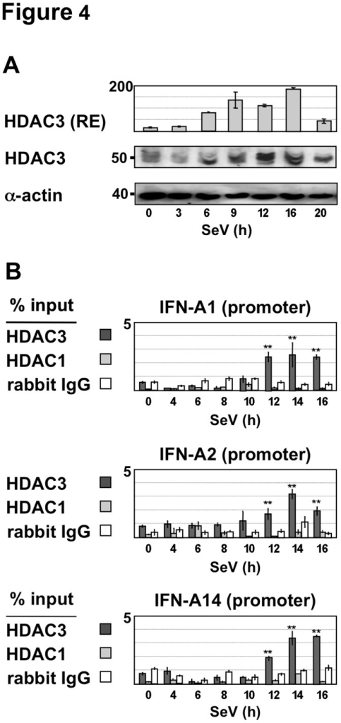 Recruitment of HDAC3 to IFN-A gene promoters during virus infection.(A) Relative expression levels of HDAC3 were determined in Sendai virus-infected Namalwa cells by RT-QPCR as described in Figure 1. HDAC3 protein levels were analyzed in whole cell extracts prepared from Sendai virus-infected Namalwa B cells by Western blotting using HDAC3 and actin antisera. (B) Recruitment of HDAC3 and HDAC1 to the IFN-A2, A14 and A1 gene promoters was determined in Namalwa B cells infected by Sendai virus for 4 to 16 h by quantitative ChIP assays as described in Figure 2. Anti-rabbit IgG was used to determine non-specific binding.