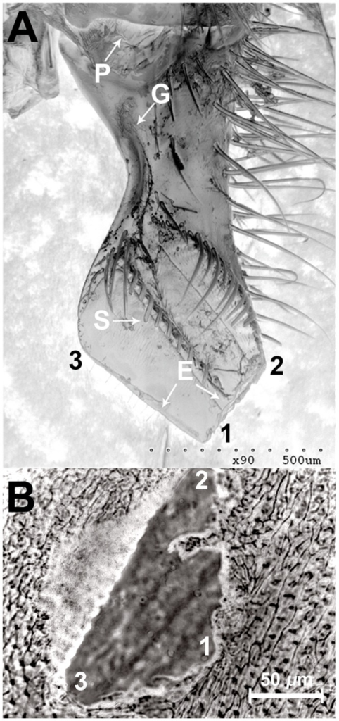 The honeybee mandible and the result of biting wax moth larvae. a) SEM scan of a honeybee mandible. P, the pore from which 2-H is secreted; G, groove; S, spikes; E, edges. b) the opening created in a wax moth larvae exoskeleton after a honeybee bite. 1, 2, and 3 are parts of the mandible that penetrate the corresponding points on the wax moth larvae exoskeleton.