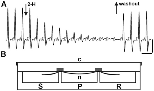 The evoked nCAP from the isolated rat sciatic nerve exposed to saline and 2-H. a) The amplitude of the nCAP, baseline to peak, was used as the main parameter to quantify the vitality of the sciatic nerve fibres during exposure to 2-H. The record presents the decrease in the amplitude nCAP during exposure of the sciatic nerve to 3.41 mg/mL 2-H. The first arrow indicates the beginning of the application and the second arrow indicates the time when the nerve was washed and bathed in normal saline. During exposure to 2-H, records were taken at a rate of 1 nCAP per 20s. After 2-H was replaced with normal saline, measurements were taken every 15 min. Vertical scale bar: 3 mV. Horizontal scale bar: 6 ms. b). Diagrammatic representation of the three-chamber recording bath made of Plexiglass. It consists of the recording (R), the perfusion (P) and the stimulating chambers (S), separated by two partitions. The sciatic nerve was placed along the three chambers which were filled with oxygenated saline to cover the nerve. The dimensions of each chamber were 26×26×10 mm (length. width, depth), total volume 10 mL. The cover (c) made of Plexiglass was used to close hermitically the whole recording system, while the air inside the bath was saturated with 2-H, to eliminate the evaporation of 2-H in the perfusion chamber.