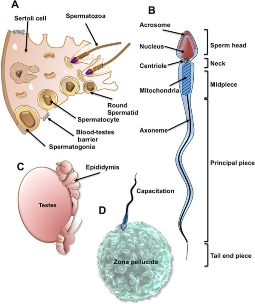 The Remarkable Anatomy And Life History Of A Sperm Cell Open I