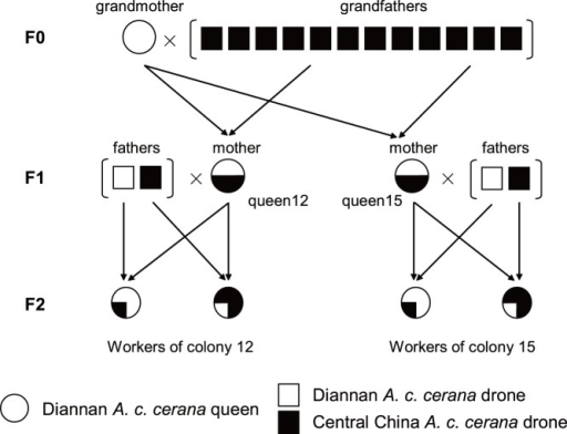 An intercross population performed to obtain workers for map construction.The grandmother was Diannan ACC queens (white, circle) and it was instrumentally inseminated with the sperm admixture from 12 drones (grandfathers) of Central China ACC drones (black, square). Two hybrid queens 12 and 15 (mothers, black/white, circle), were backcrossed to two males (the fathers), one belonging to Diannan ACC and the other one Central China ACC. The female progeny (workers) of these backcrosses were collected from two families (queens 12 and 15).