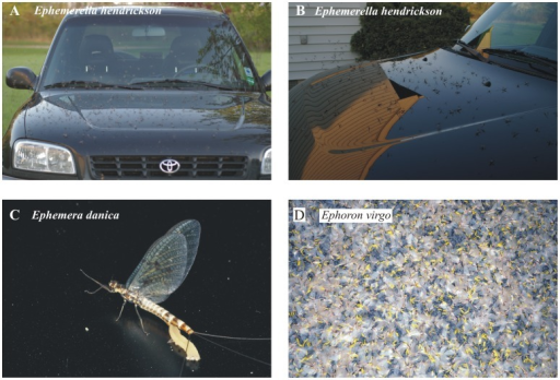 Mayflies attracted en masse to shiny black cars due to the highly and horizontally polarized light reflected from the car-body.(A, B) Mass-swarming Ephemerella hendrickson. (C) Egg-laying Ephemera danica. (D) Thousands of mass-swarming female Ephoron virgo mayflies landed on a windscreen, onto which they laid their yellow egg batches. Photos A and B were taken by Dr. Rebecca Allen (Michigan State University, USA), while photos C and D originate from Dr. György Kriska (Eötvös University, Budapest, Hungary).