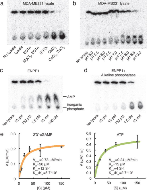 ENPP1 is an efficient hydrolase for 2′3′-cGAMP(a) Ion dependency and (b) pH preference of the dominant hydrolase activity in MDA-MB231 cells. (c) Activity of recombinant ENPP1 alone or (d) coupled to alkaline phosphatase in buffer condition: 0.2% NP-40, 20 mM Tris-HCl, pH 9.0, 2 mM Ca2+, 200 μM Zn2+. (e) Kinetics of 2′3′-cGAMP and ATP hydrolysis by recombinant ENPP1. 1 nM ENPP1 was tested in the same buffer condition as (f) and (g). Data are presented as mean and standard error.