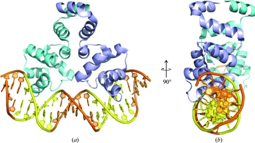 Overall structure of the C.Csp231I–DNA complex. (a) The protein dimer (cyan and violet subunits) bound to a DNA duplex (orange). The specific DNA-recognition sites (yellow) are located on both sides of the central pentanucleotide spacer. (b) Orthogonal view of the structure in (a).