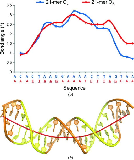 Structural distortions in bound DNA. (a) The local bend angle for 21-mer OL (blue) and OR (red) operators between adjacent base pairs (calculated as the angle formed between the normals of adjacent base pairs) is greatest at the central spacer sequence. Their sequences are shown below with the inverted repeats underlined. (b) Graphical representation of duplex bending. The overall DNA bend angles are 39 and 43° for the OL and OR duplexes, respectively